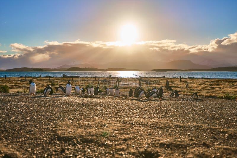 La colonie des pingouins sur l'île dans le canal de briquet Patagonia argentin Ushuaia photos libres de droits