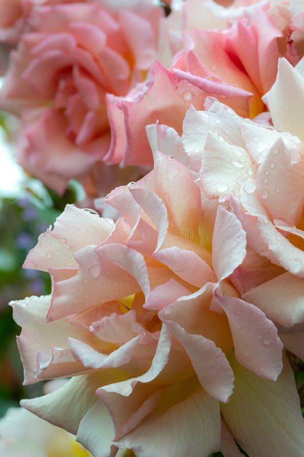 La compassion pour les roses, refermée avec les gouttes de pluie Verticale images libres de droits