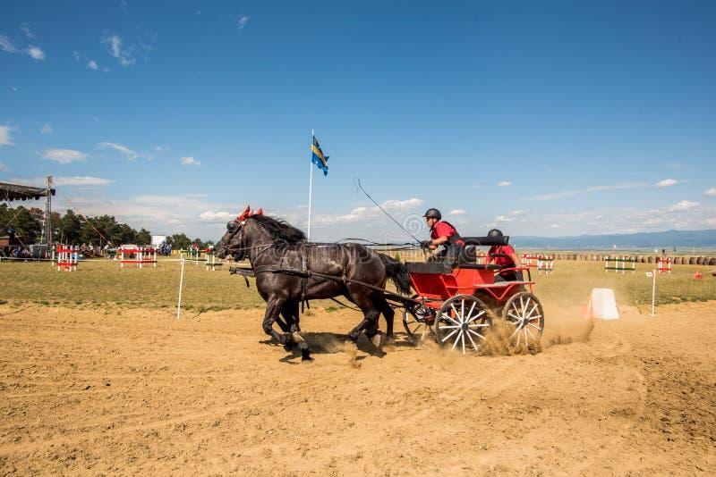 La competencia de los caballos de Brown con final del carro y del jinete da vuelta imagenes de archivo