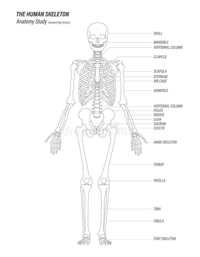 La conception de détails élevée linéaire d'anatomie d'étude de noir squelettique humain de concept illustration stock
