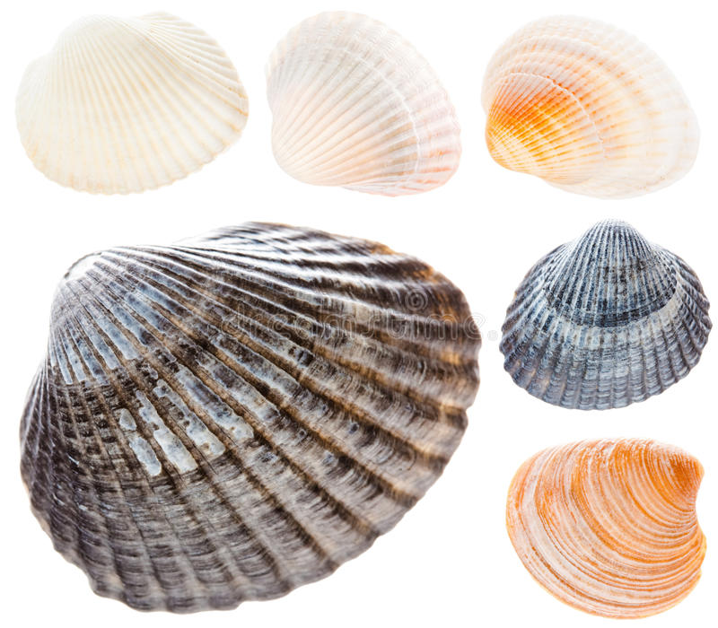 La concha de berberecho del mar aislada en el collage determinado del fondo blanco recoge foto de archivo
