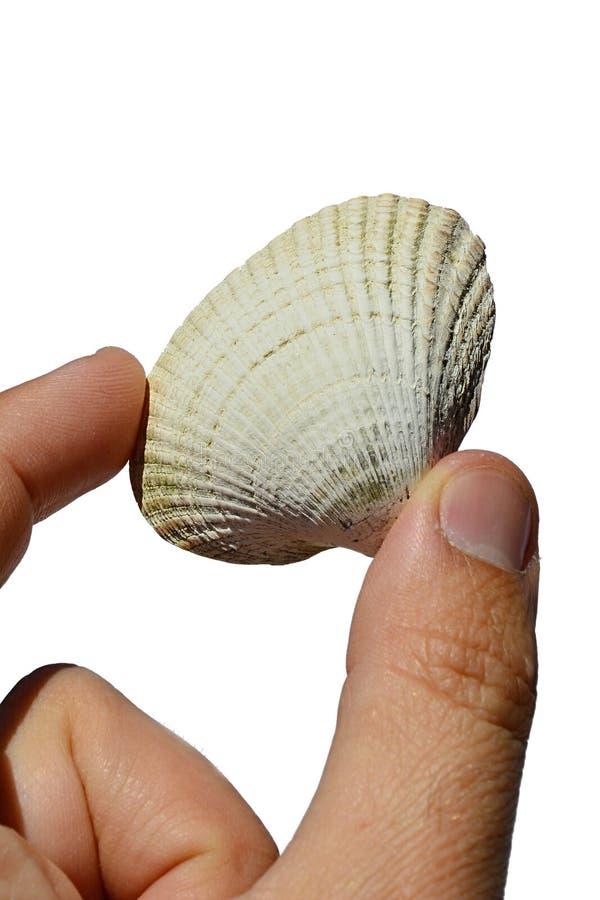 La conchiglia bivalve dai molluschi del mollusco bivalve ha tenuto in mano sinistra su fondo bianco fotografia stock libera da diritti