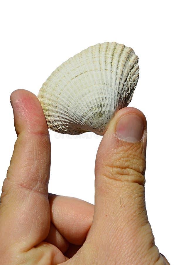 La conchiglia bivalve dai molluschi del mollusco bivalve ha tenuto in mano sinistra su fondo bianco immagini stock libere da diritti