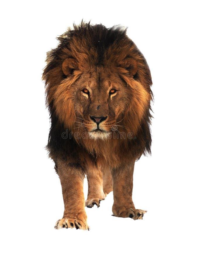 La condizione di re leone isolata a bianco riscalda immagine stock