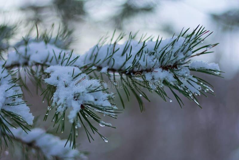 La conifera sempreverde, ramo di albero dell'abete coperto in neve di goccioline di acqua gocciola nell'inverno fotografie stock libere da diritti