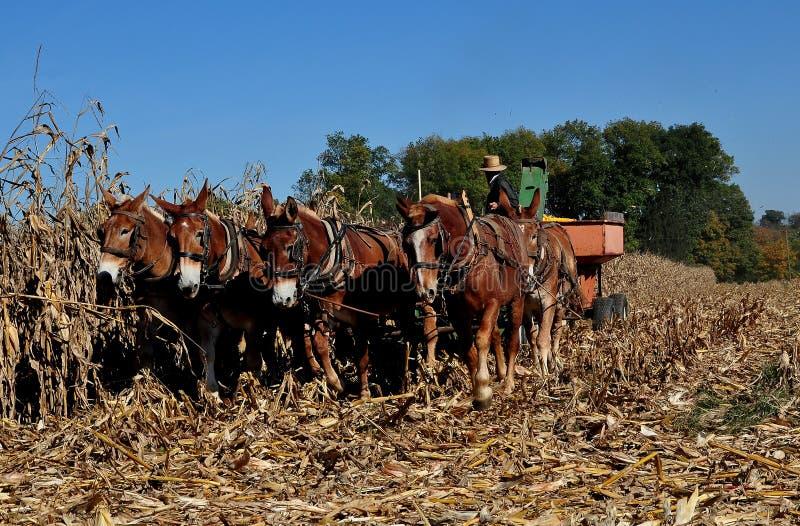 La contea di Lancaster, PA: Agricoltore di Amish con gli asini immagine stock