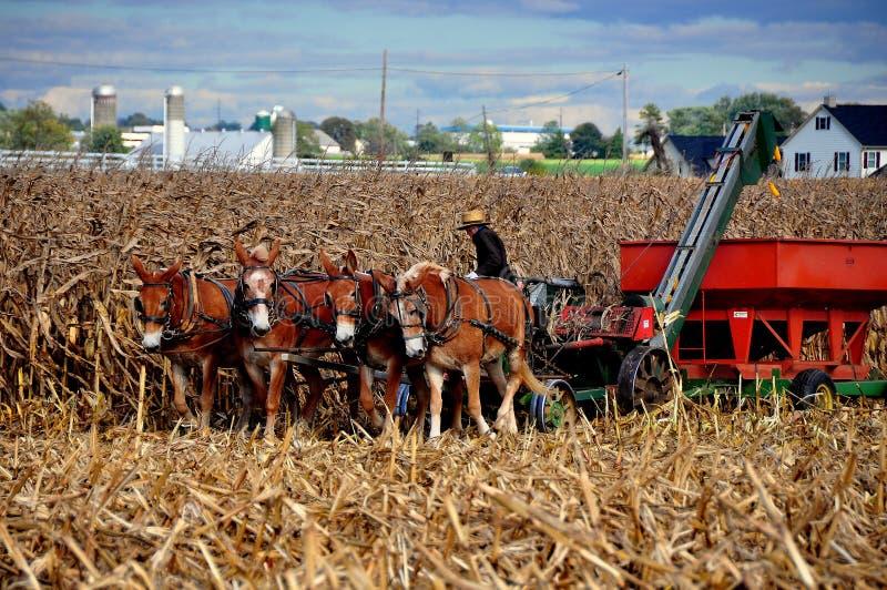 La contea di Lancaster, PA: Agricoltore di Amish con la trebbiatrice fotografie stock libere da diritti