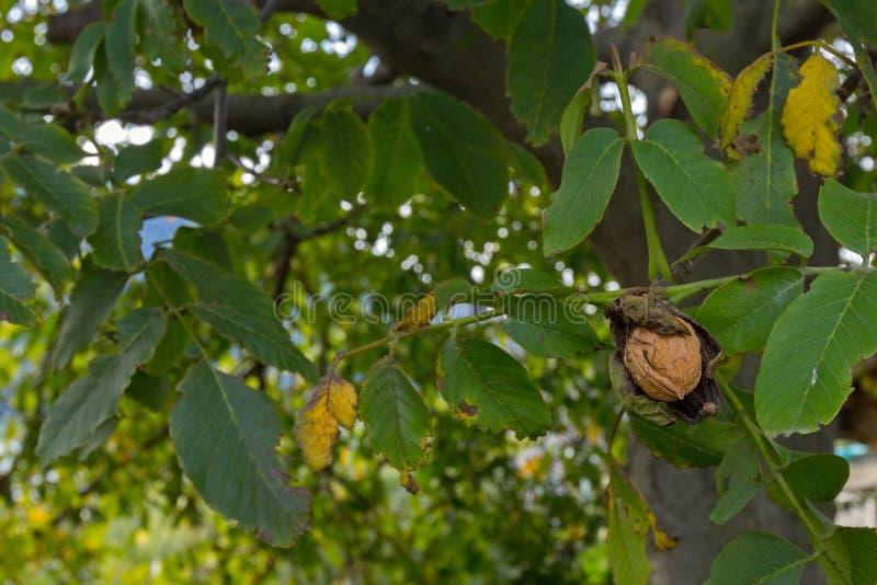 La copertura decomposta della frutta della noce che rivela un guscio duro rugoso vede fotografia stock libera da diritti
