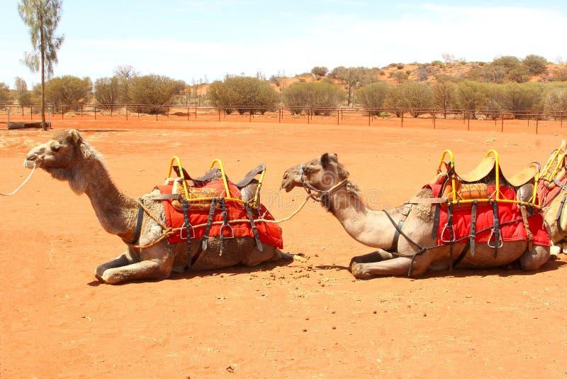 La coppia dei cammelli sta aspettando un deserto di giro del cammello in rosso fotografia stock libera da diritti