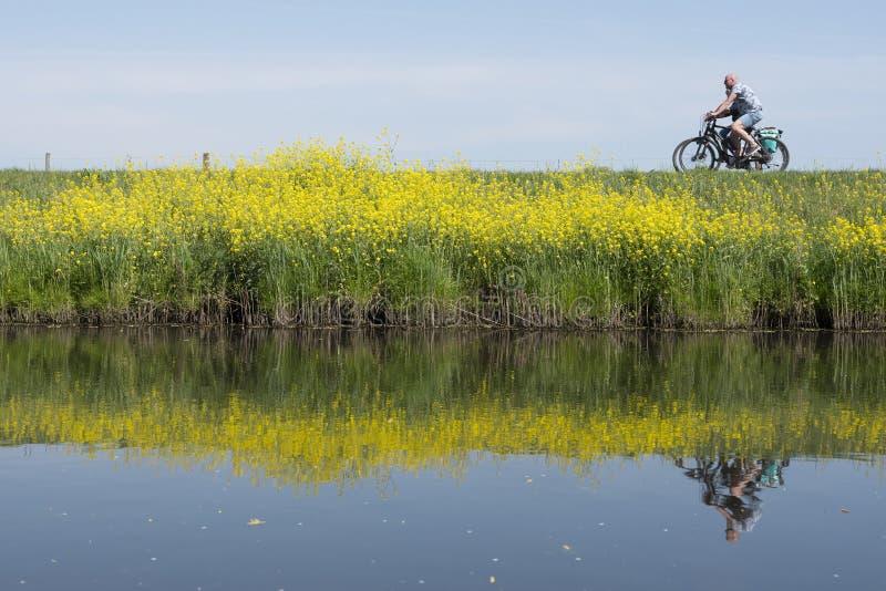 La coppia guida la bicicletta lungo l'acqua di vicino valleikanaal leusden in Olanda e passa i fiori di fioritura gialli del seme immagini stock libere da diritti