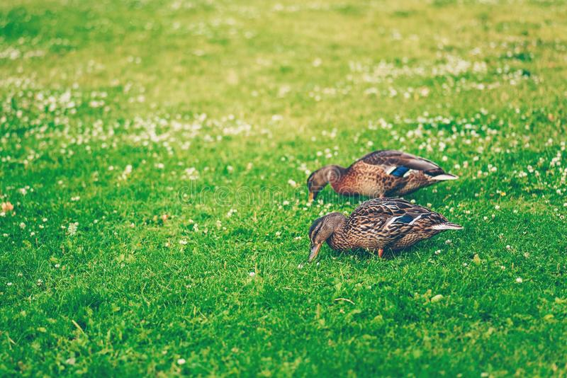 La coppia il germano reale ducks mangiando l'erba in un parco fotografie stock libere da diritti