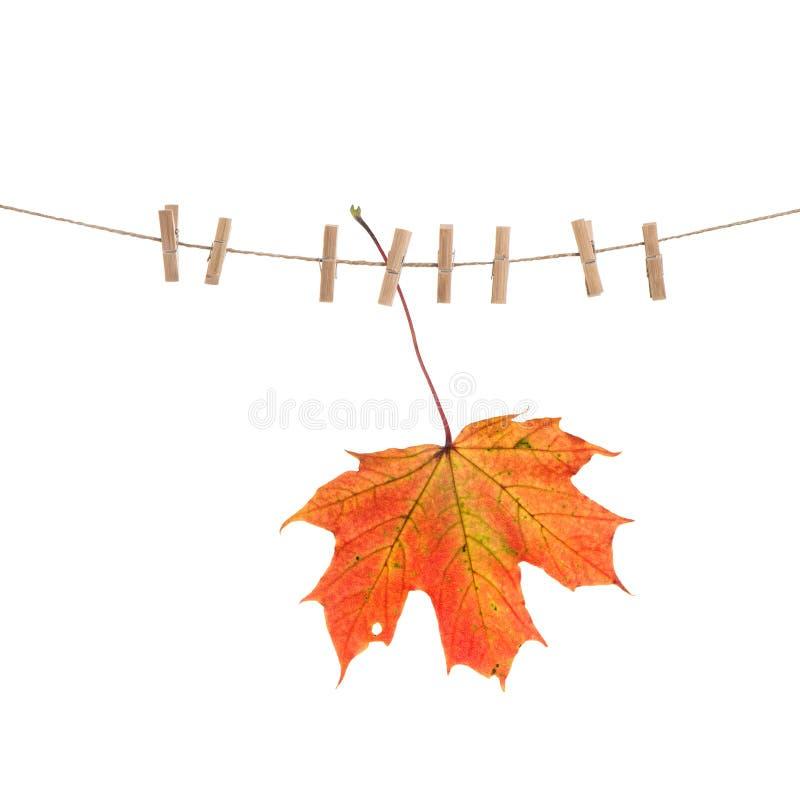 La corde à linge de feuille d'érable rouge d'automne cheville le fond blanc image libre de droits
