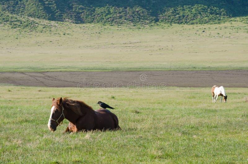 La corneille sur a détend le cheval image stock