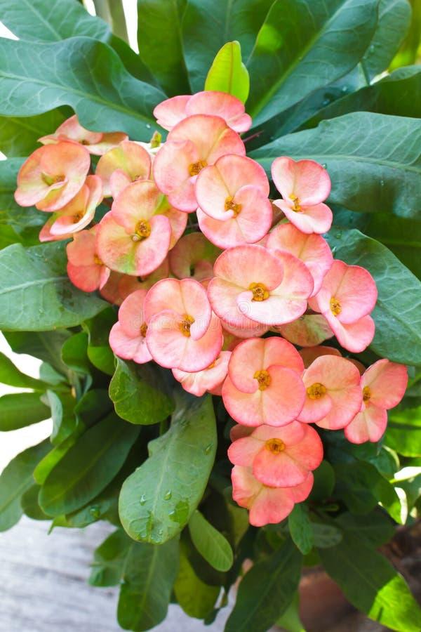 La corona de las flores de las espinas o del milli del euforbio florece. imagen de archivo libre de regalías