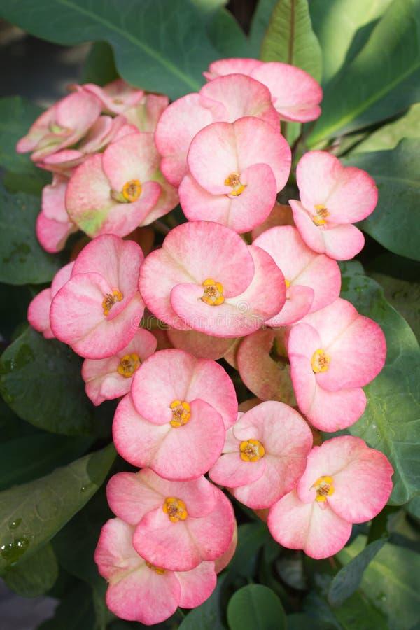 La corona de las flores de las espinas o del milli del euforbio florece. fotos de archivo libres de regalías