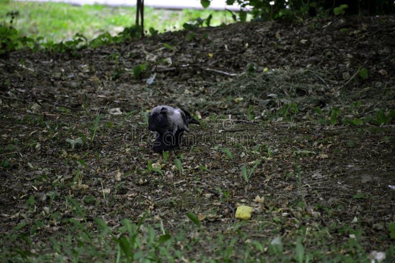 La corona encapuchada ( corvus cornix) investiga una esponja vieja imagenes de archivo