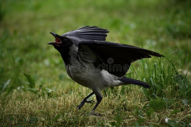 La corona incappucciata ( corvo cornix) mostra il comportamento dimostrativo immagine stock