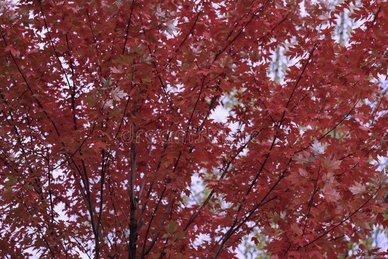 La corona variopinta viva scenica dell'albero di autunno luminoso, volante dall'ultimo del vento va, colore di Borgogna Caduta na immagini stock libere da diritti