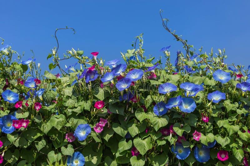 La correhuela azul florece la floración en fondo del cielo azul imágenes de archivo libres de regalías