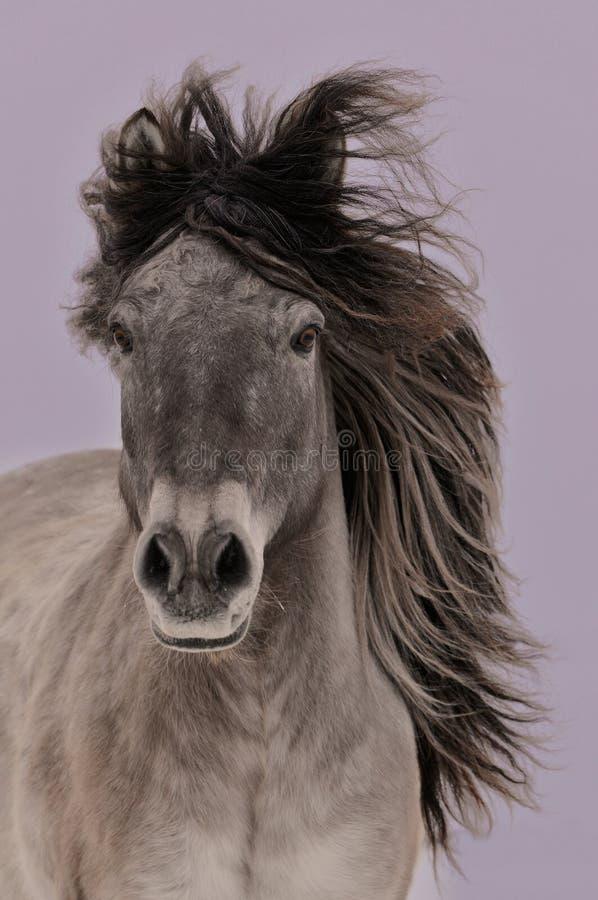 La corrida yakuta gris del caballo imagen de archivo libre de regalías