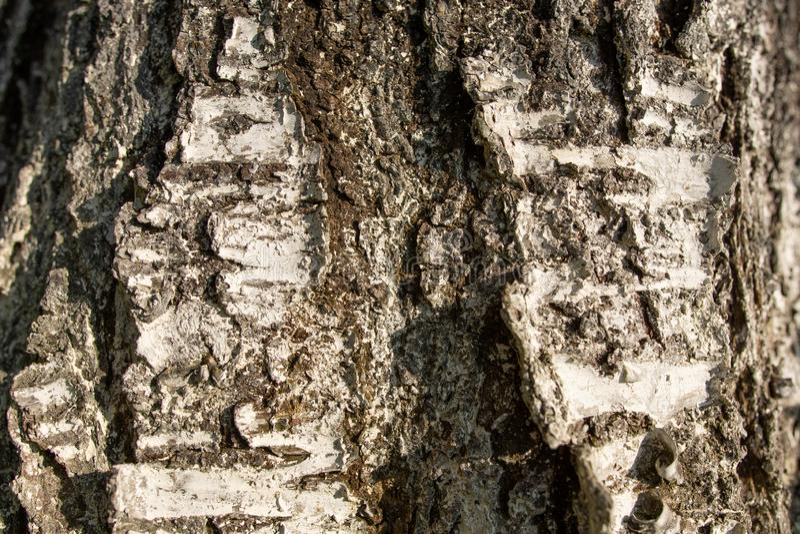 La corteccia della ciliegia dell'albero da frutto è imbiancata con calce, la struttura della corteccia immagini stock