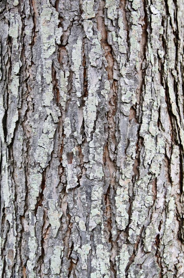 La corteccia di albero è asciutta fotografia stock libera da diritti