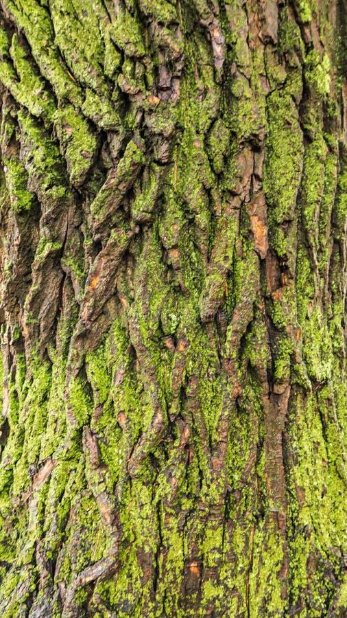 La corteccia di vecchio albero è i precedenti immagini stock libere da diritti