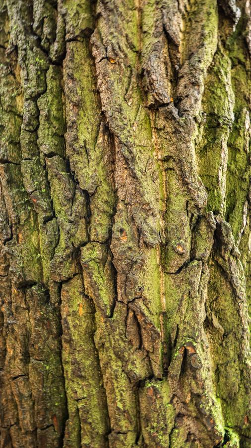 La corteccia di vecchio albero è i precedenti fotografia stock