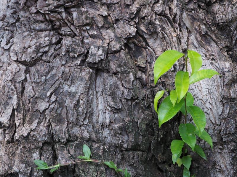La corteccia nera con le foglie verdi si sviluppa bella immagine stock