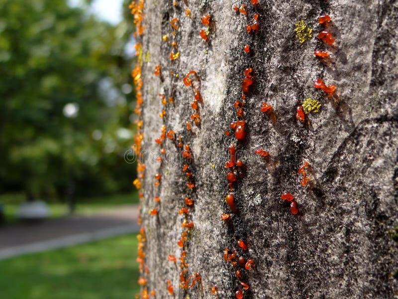 La corteza del árbol con la resina fotografía de archivo
