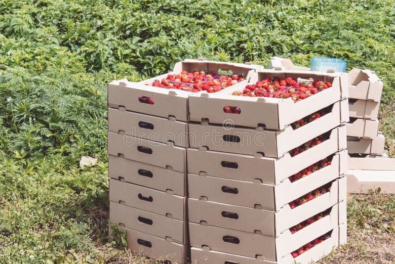 La cosecha de la fresa una fresa roja apetitosa con las colas verdes miente en una caja del cartón en el campo foto de archivo