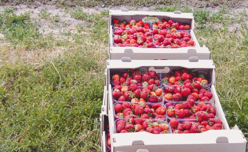La cosecha de la fresa una fresa roja apetitosa con las colas verdes miente en una caja del cartón en el campo imagen de archivo