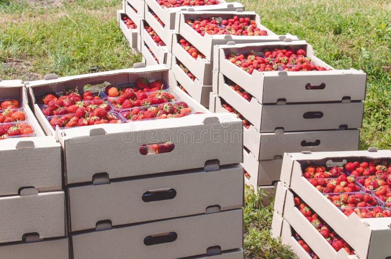 La cosecha de la fresa una fresa roja apetitosa con las colas verdes miente en una caja del cartón en el campo imagenes de archivo