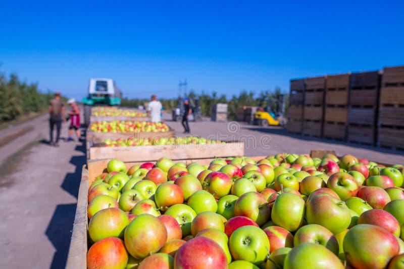 La cosecha de las manzanas rojas maduras frescas apenas recogidas del tre imagen de archivo