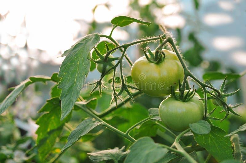 La cosecha de tomates en el invernadero en la caída Vehículos rojos y verdes imagen de archivo libre de regalías