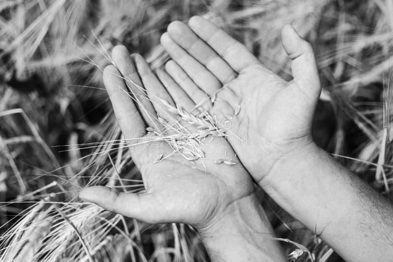 La cosecha del trigo foto de archivo