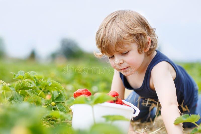 La cosecha divertida del niño y las fresas de la consumición en baya cultivan fotos de archivo libres de regalías