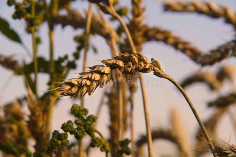 La cosecha está lista para cosechar fotografía de archivo
