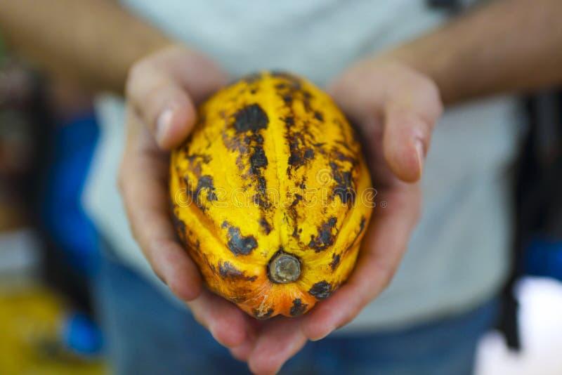 La cosse de cacao équipe dedans la main photo libre de droits