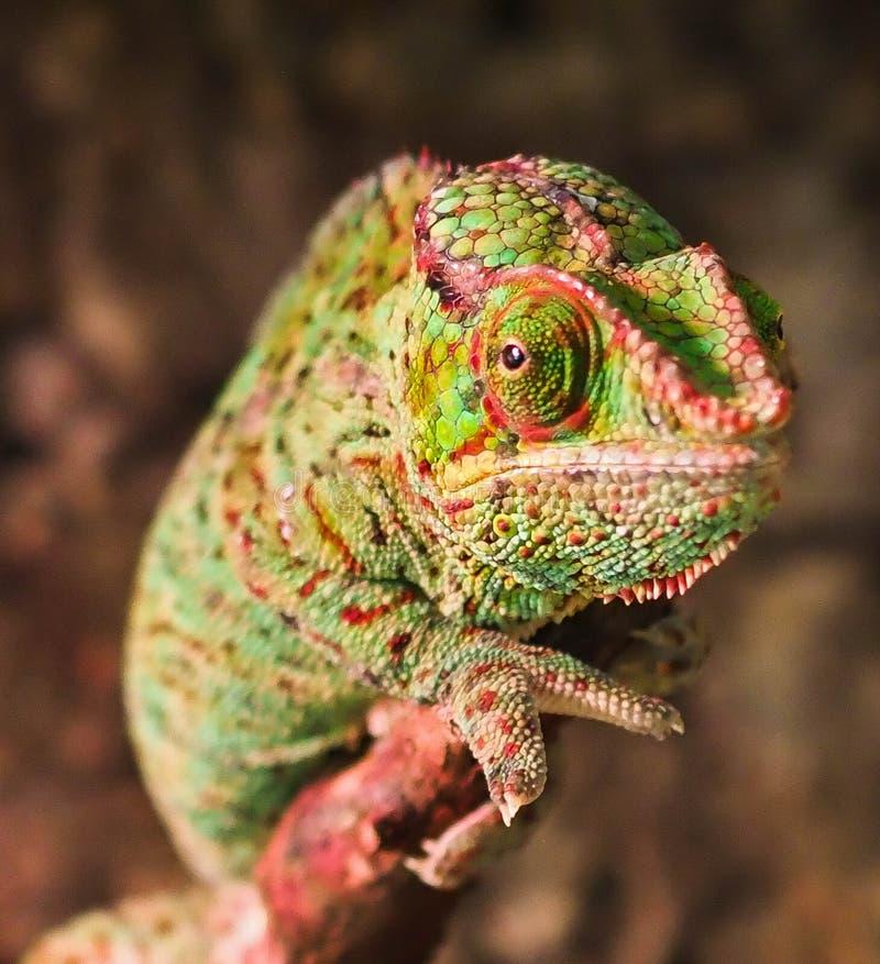 La couleur de caméléon repose n photographie stock libre de droits