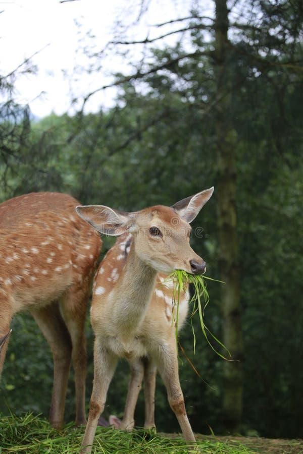 La couleur de cerfs communs de sika est rouge de châtaigne en été, avec beaucoup de taches blanches, comme des fleurs de prune ;  images stock