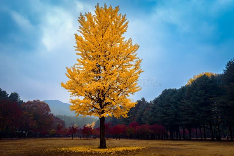 La couleur de changement de feuilles pendant l'automne Nami Island photographie stock