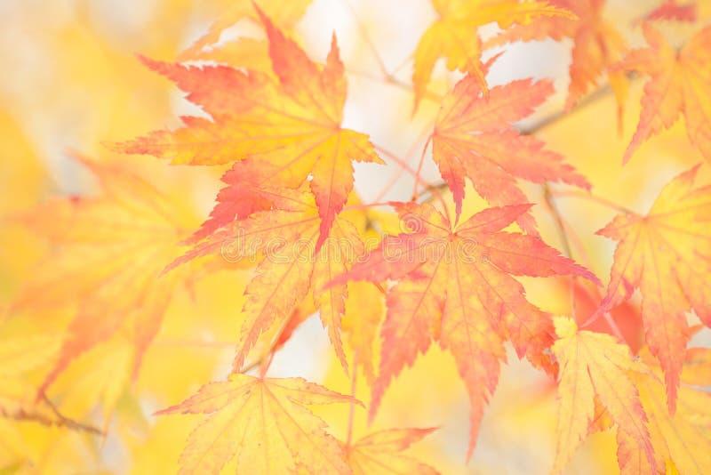 La couleur de l'érable jaune part dans la saison d'automne photo libre de droits