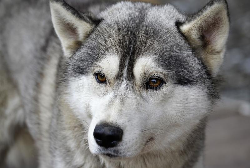 La couleur grise en gros plan enrouée de tête de chien de race examine la distance image stock