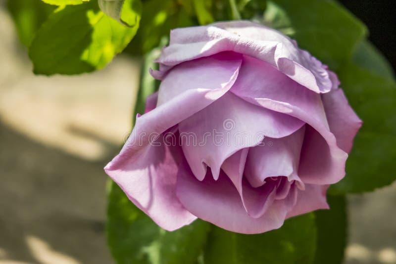 La couleur lilas a monté en nature images stock