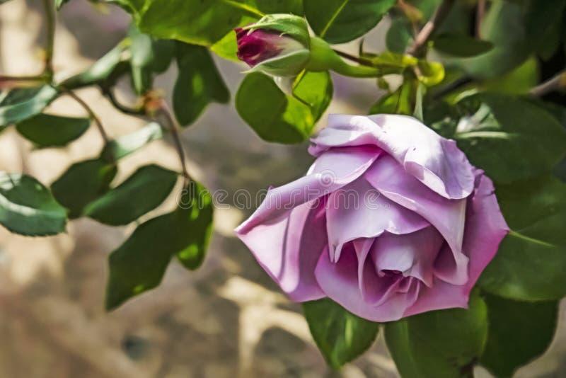 La couleur lilas a mont? en nature image stock