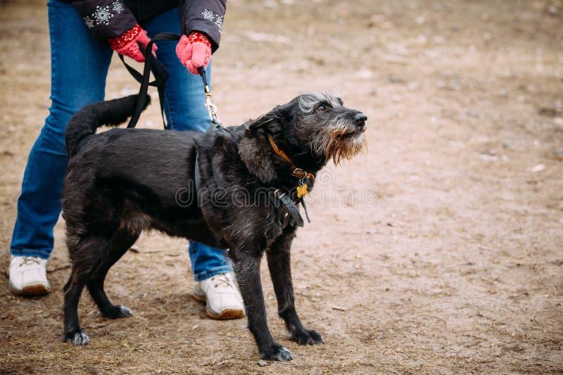 La couleur noire a mélangé le chien de race aboyant après la formation Chien dangereux, image stock