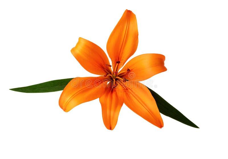 La couleur orange de fleur de Lilium ou de lis d'isolement sur le chemin de coupage blanc a inclus photos libres de droits