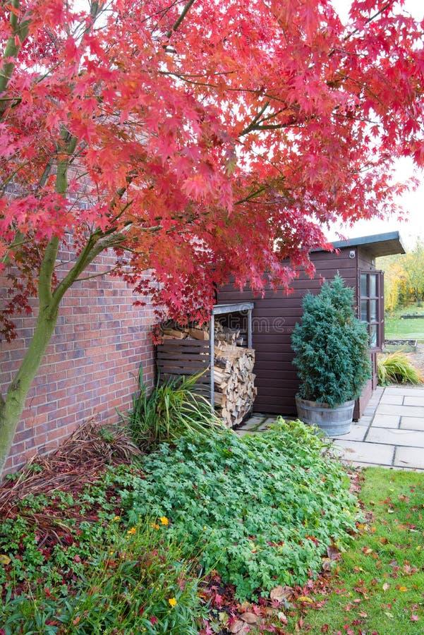 La couleur rouge lumineuse d'automne de l'arbre d'érable japonais images libres de droits