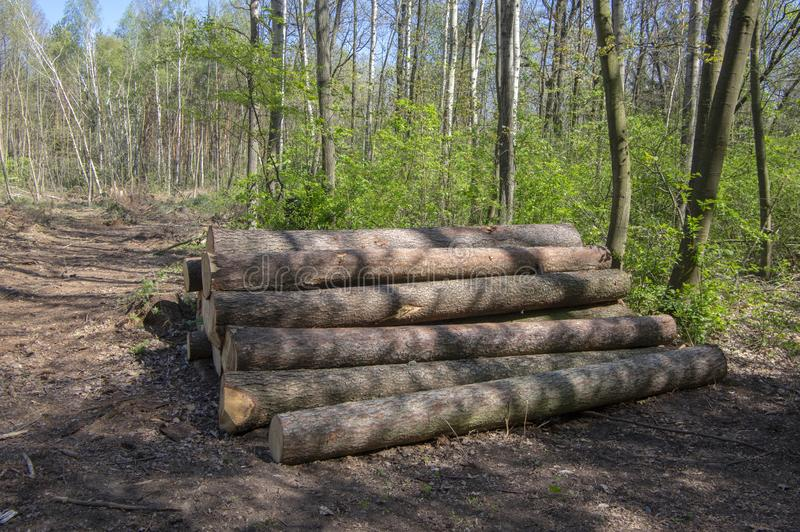 La coupure des arbres, calamit? de scarab?e d'?corce, arbre de conif?re ouvre une session la pile dans la r?gion bois?e image libre de droits